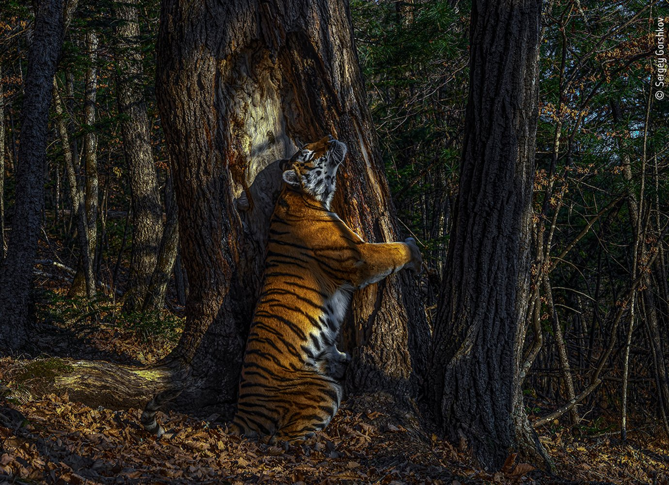 Wildlife Photographer of the Year 2020 was awarded the 'Tiger Embrace'