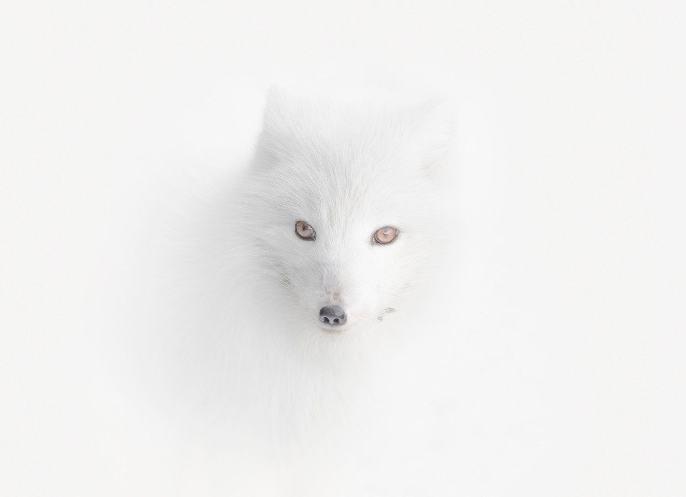 """""""Once on my expedition to Spitsbergen, there was a blizzard. Everything around was equally white. And suddenly I spotted this Arctic fox. He almost merged with the environment. Only his eyes and nose betrayed him."""" Image: Vladimir Alekseev/www.tpoty.com"""