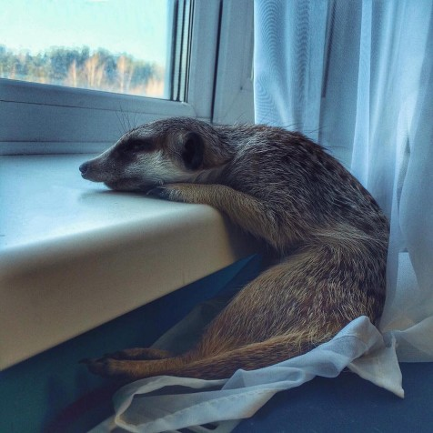 Instagram animals Meerkat Gosha