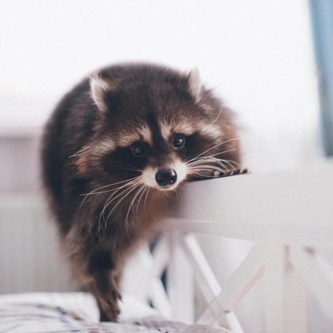 Instagram animals Racoon Fedor