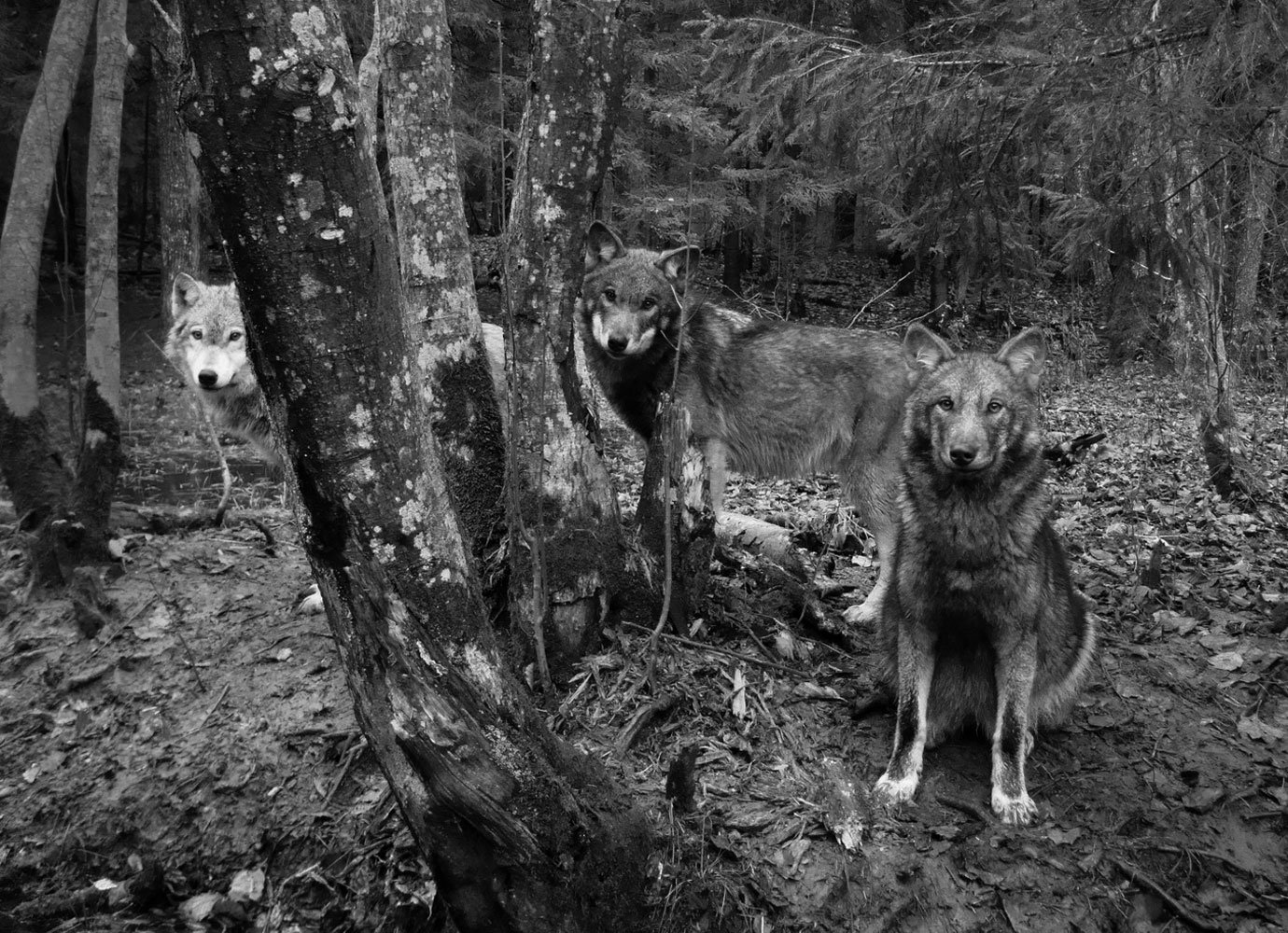 The story of a remarkable zoologist who lived among wolves in Georgia