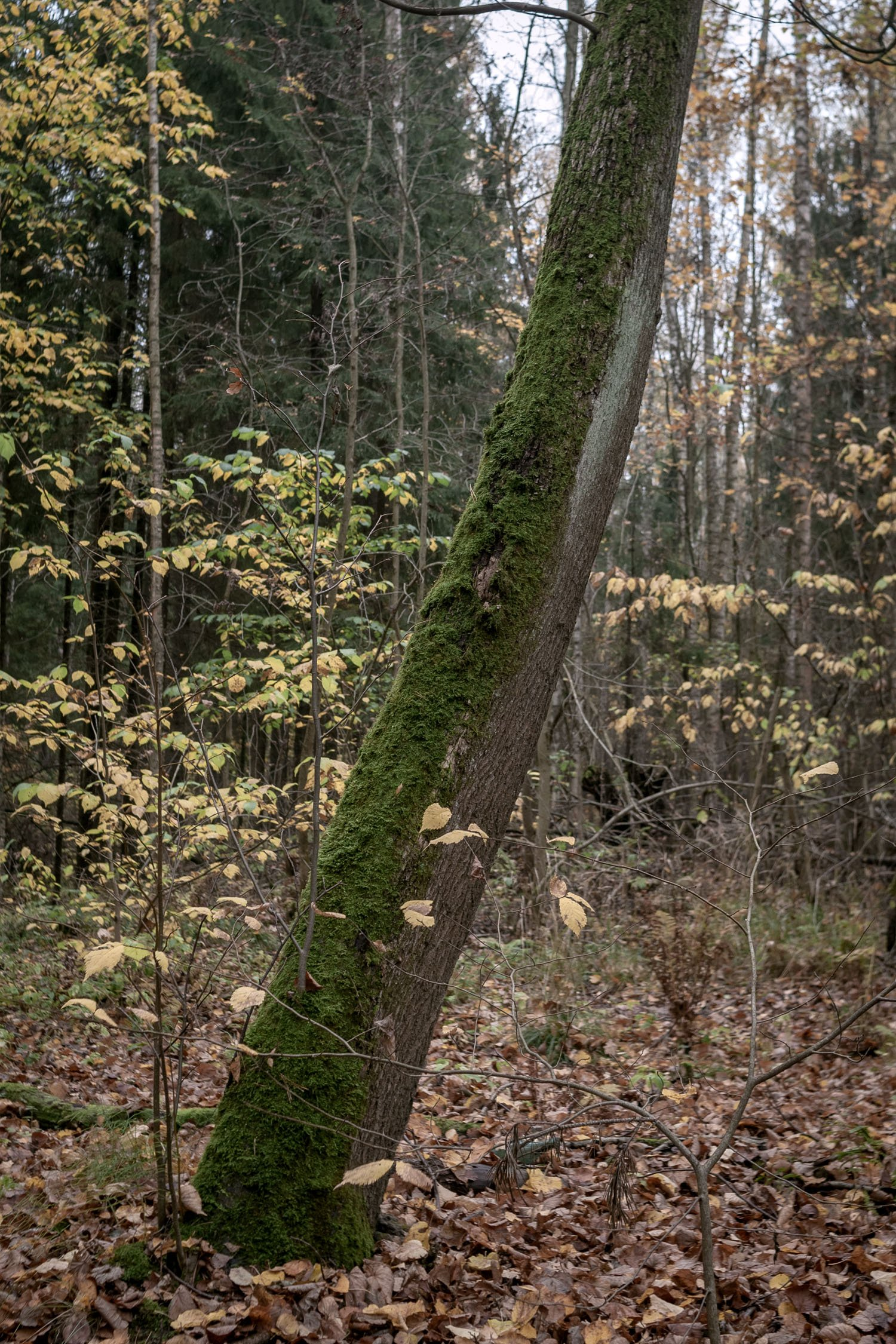 According to folk legends, moss grows on the north side of trees, which helps with navigation.
