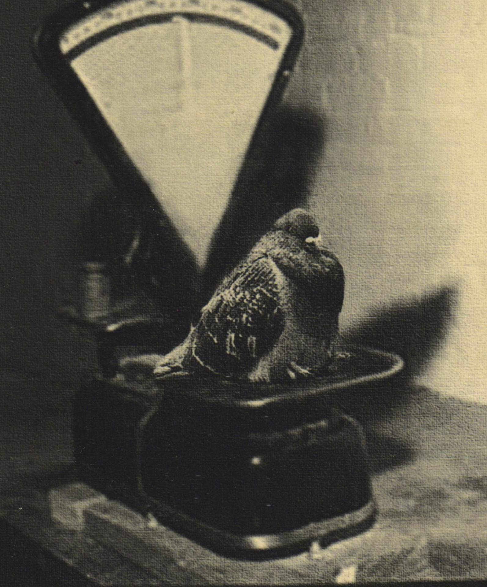 Spy-pigeon before going on a mission, 1942. The memoirs of Yan Khtovich, 2015-2017. This mockumentary project tells the story of Yan Khtovich, ornitologist working on the Spy Pigeon project during WWII
