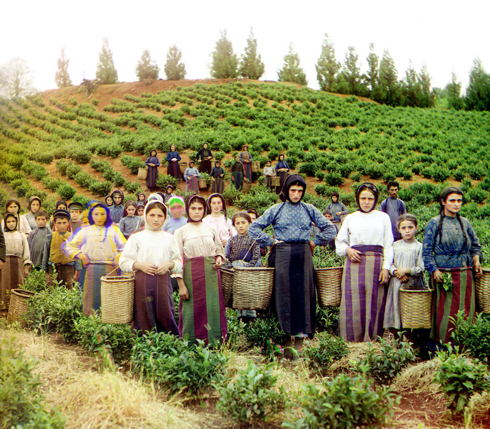 Image: Women and children harvesting tea in Georgia, circa 1905–1915