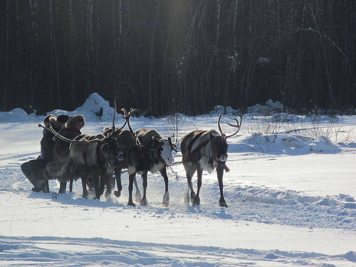 Reindeer fear: world's largest herd is shrinking