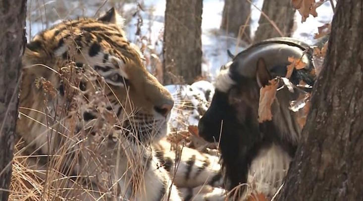 "Russian lawyer calls for ban on coverage of tiger-goat friendship, citing ""gay propaganda"""