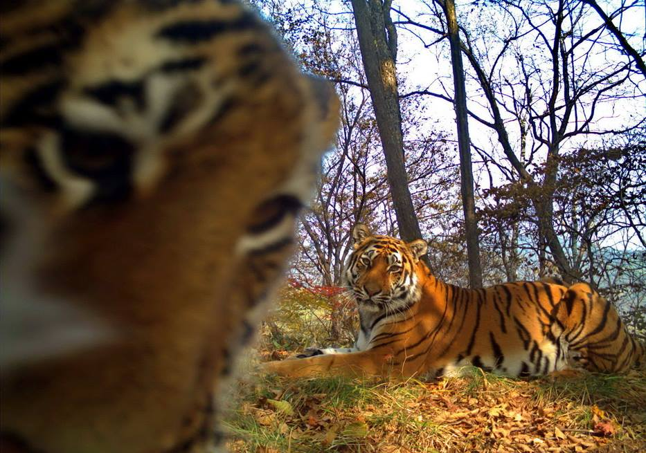 "Siberian tigers strike a pose in rare ""selfie"" series"