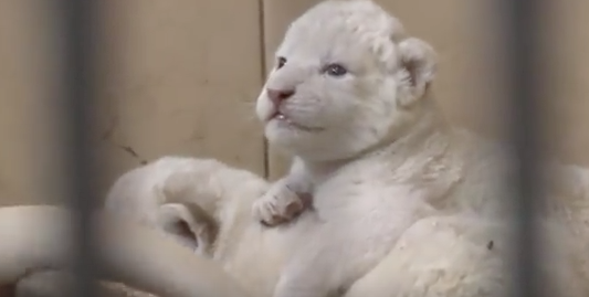 Rare white lions and tigers born in Poland