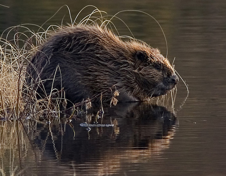 Beavers beware: Russian charity accidentally encourages cull with typo