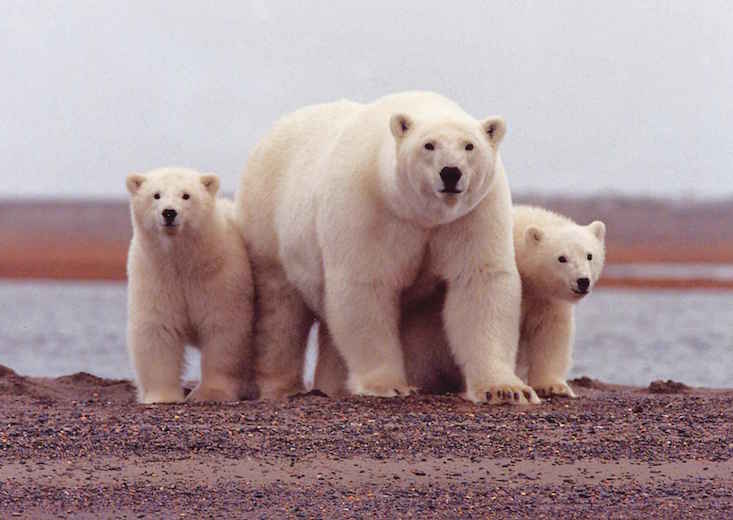 Polar bears surround Russian scientists in the Arctic