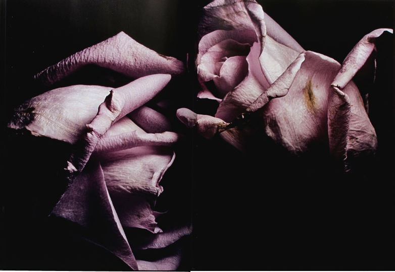 Visionaire Roses
