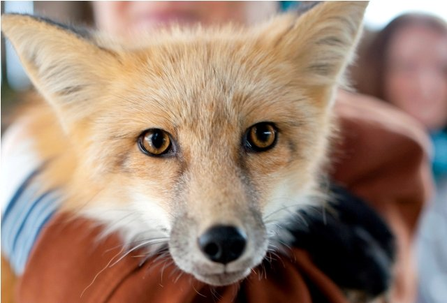 Fantastic Mr Fox: science, ideology and cute designer pets